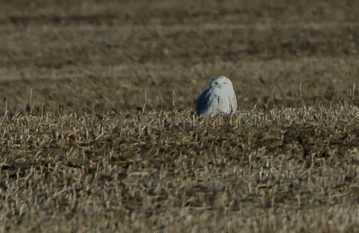 Snowy Owl found in McLean County, IL December 2019